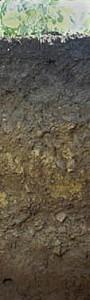 1.5m aufgegraben. Dieser Boden ist durch jahrelanges fleißiges Gärtnern entstanden. Jahr für Jahr wurde hier organische Substanz, beispielsweise als Kompost, Mist oder Mulch, untergegraben. So enstand ein mächtiger humoser Oberboden. Der bleibt dann locker, viele wasserspeichernde Poren sind vorhandenden, dann geht's den Wurzeln und dem Bodenleben gut! Gartenböden fallen unter die Hortisole, wenn sie einen mindestens 40 cm mächtigen humosen Oberboden haben, der durch Auftrag organischer Substanz und durch Umgraben entstanden ist.