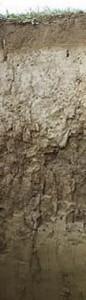 bis 1.5m. So ein bisschen ist das DER typische Boden in Deutschland: 10.000 Jahre alt, oben schon arm an Ton, da der ein wenig tiefer gespült wurde. Ingesamt ist es jedenfalls ein sehr fruchtbarer Boden. Da es ihm im Oberboden oft an Zusammenhalt fehlt, ist er von Erosion bedroht. Der Name dieses Bodens ist Parabraunerde - klar er ist braun und trotzdem unterscheidet er sich von der Braunerde ... Letzlich ist es einfach so, dass sich vor zig Jahren einige Bodenkundler auf diesen Namen geeinigt haben, warum wissen heute nur noch Wenige.  Zu dieser Parbraunerde auf den Fildern bei Stuttgart geht's hier weiter ,  zu einer anderen in Mecklenburg- Vorpommern geht's hier weiter.